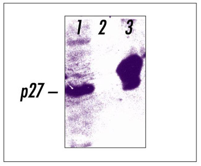 Phospho-p27 Kip1 (Thr187) Antibody (71-7700)