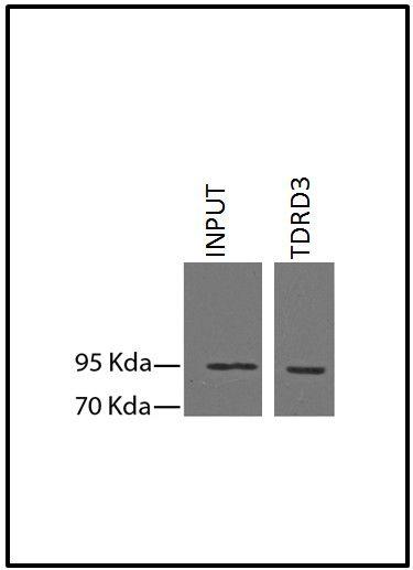 TDRD3 Antibody (730004) in Immunoprecipitation