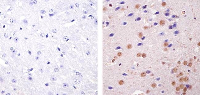 HP1 alpha Antibody (730019) in Immunohistochemistry (Paraffin)