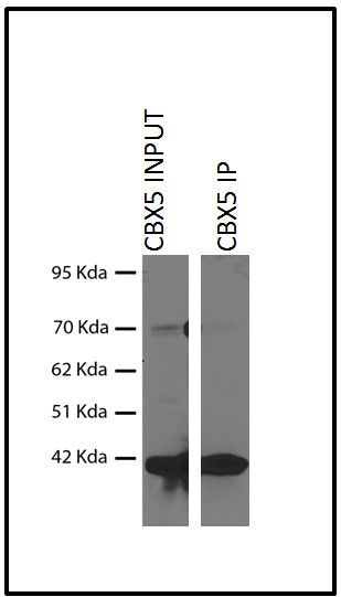 HP1 alpha Antibody (730019) in Immunoprecipitation