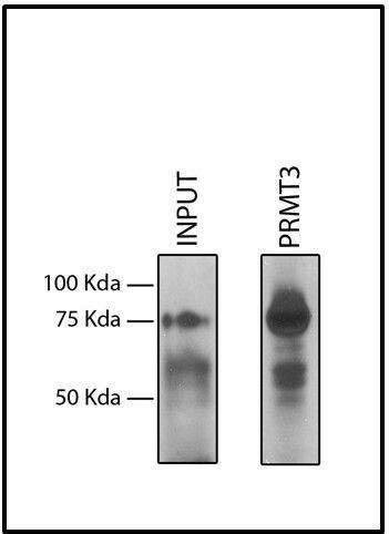 PRMT3 Antibody (730020) in Immunoprecipitation