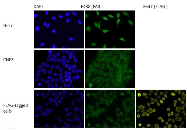 HP1 gamma Antibody (730045)