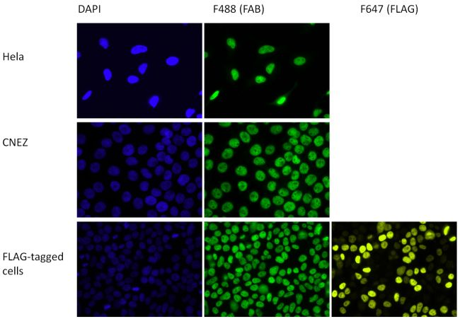 HP1 alpha Antibody (730046) in Immunofluorescence