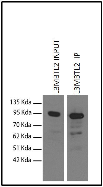 L3MBTL2 Antibody (730048) in Immunoprecipitation