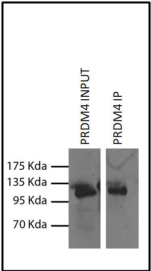 PRDM4 Antibody (730072) in Immunoprecipitation