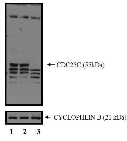 Cdc25C Antibody (MA5-14107) in Western Blot