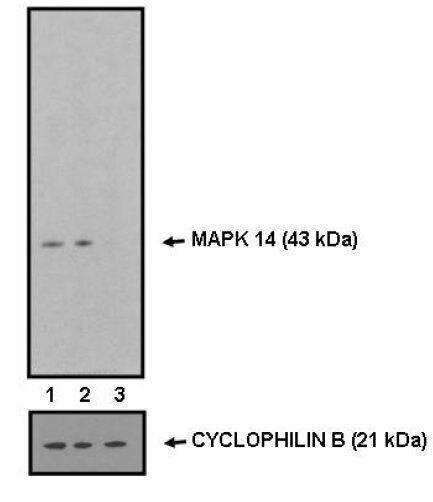 p38 MAPK alpha Antibody (82382) in Western Blot