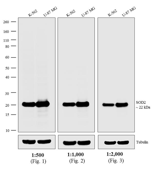 Mouse IgG / IgA / IgM (H+L) Secondary Antibody (A-10668) in Western Blot