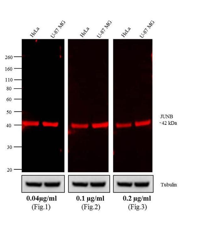 Rabbit IgG (H+L) Cross-Adsorbed Secondary Antibody (A-21038) in Western Blot