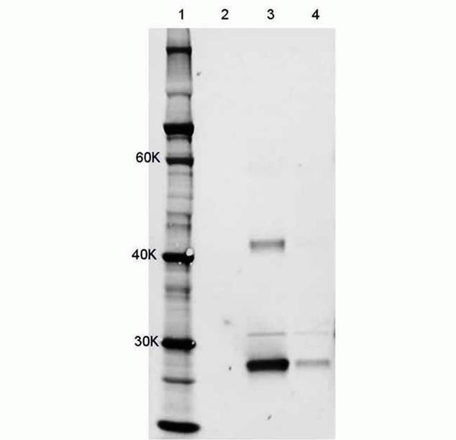 Rat IgG (H+L) Cross-Adsorbed Secondary Antibody (A-21247) in Immunoprecipitation