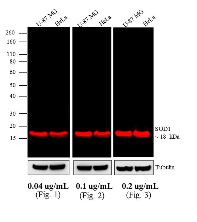 Mouse IgG (H+L) Highly Cross-Adsorbed Secondary Antibody (A10038) in Western Blot