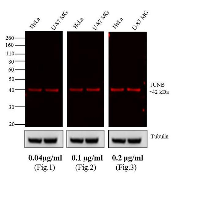 Rabbit IgG (H+L) Highly Cross-Adsorbed Secondary Antibody (A10043) in Western Blot