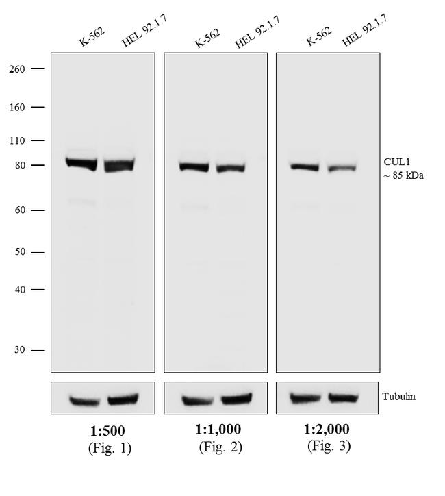 Mouse IgG1 Cross-Adsorbed Secondary Antibody (A10551) in Western Blot