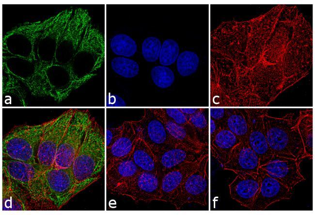 Mouse IgG / IgM (H+L) Secondary Antibody (A-10684) in Immunofluorescence