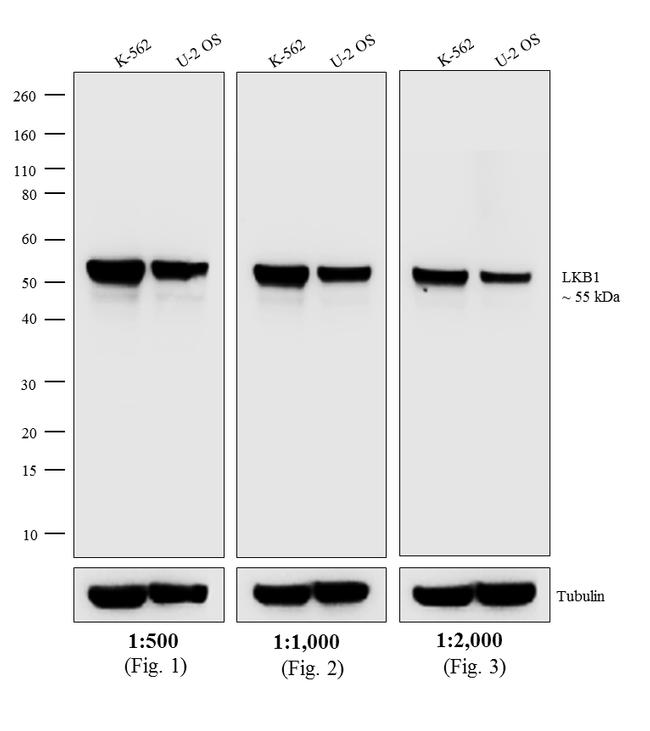 Mouse IgG2a Secondary Antibody (A-10685) in Western Blot