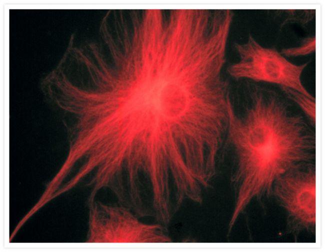 Mouse IgG (H+L) Secondary Antibody (A-11004)