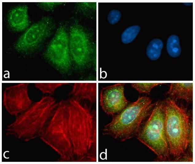 Rabbit IgG (H+L) Highly Cross-Adsorbed Secondary Antibody (A-11034) in Immunofluorescence