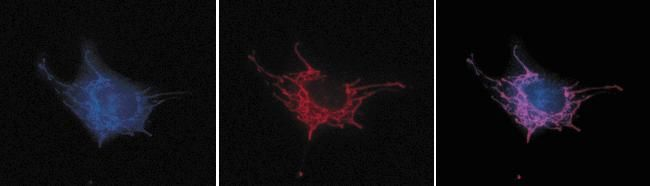 Mouse IgG (H+L) Cross-Adsorbed Secondary Antibody (A-11045) in Immunofluorescence