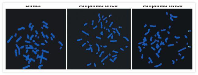 Fluorescein/Oregon Green Antibody (A-11090) in Immunofluorescence