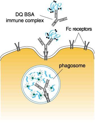 Bovine Serum Albumin Antibody (A11133)