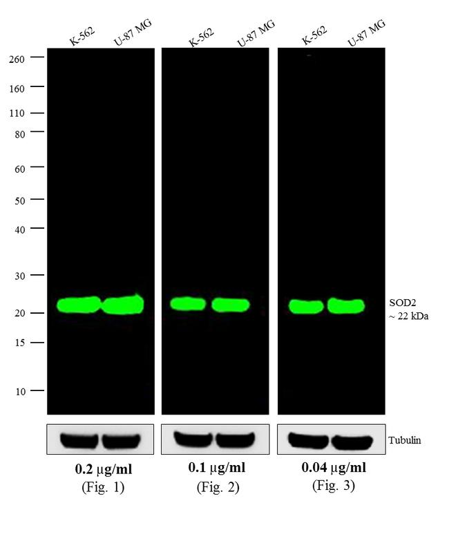 Mouse IgG (H+L) Highly Cross-Adsorbed Secondary Antibody (A11371) in Western Blot