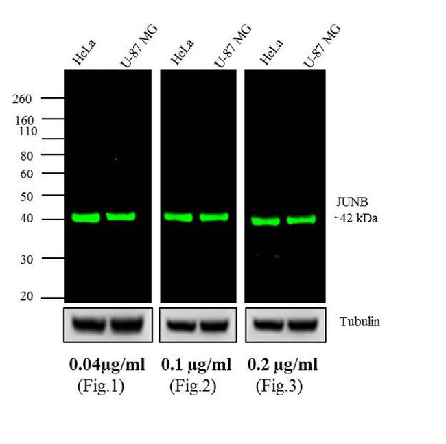 Rabbit IgG (H+L) Highly Cross-Adsorbed Secondary Antibody (A11374) in Western Blot