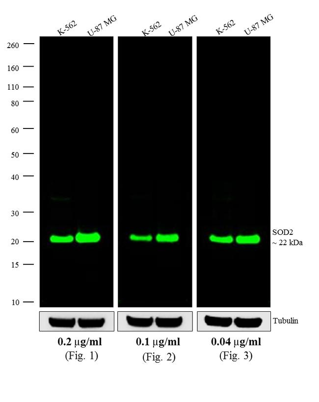 Mouse IgG (H+L) Cross-Adsorbed Secondary Antibody (A11375) in Western Blot