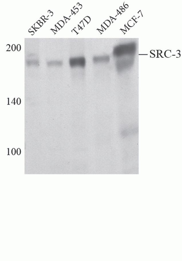 SRC3 Antibody (A13960) in Western Blot