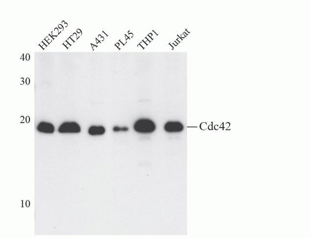 Cdc42 Antibody (A13981) in Western Blot