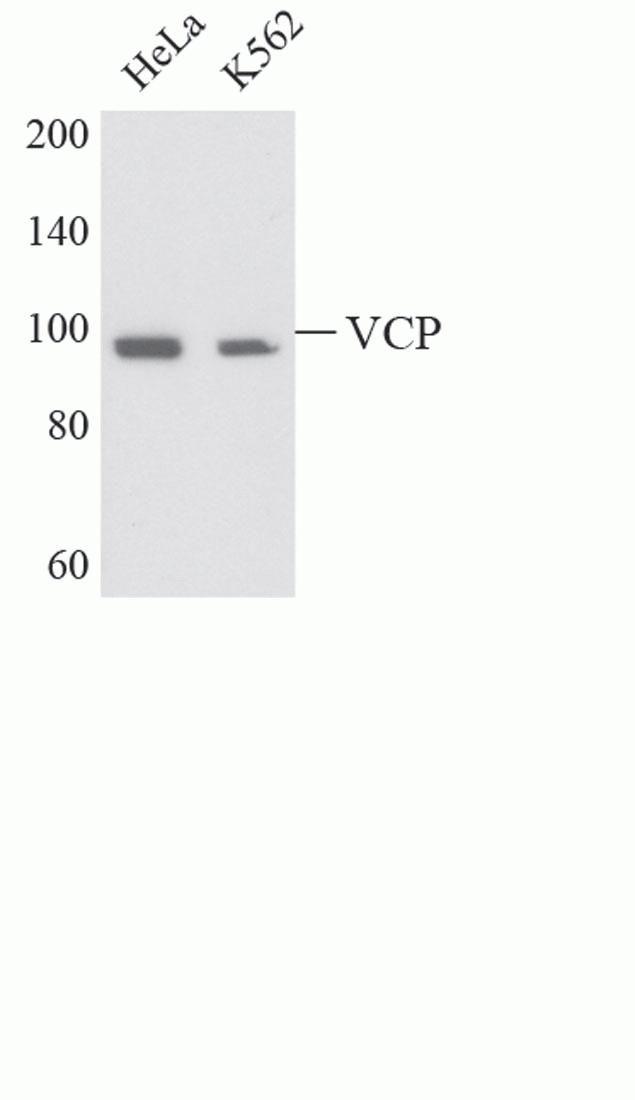 VCP Antibody (A13985)