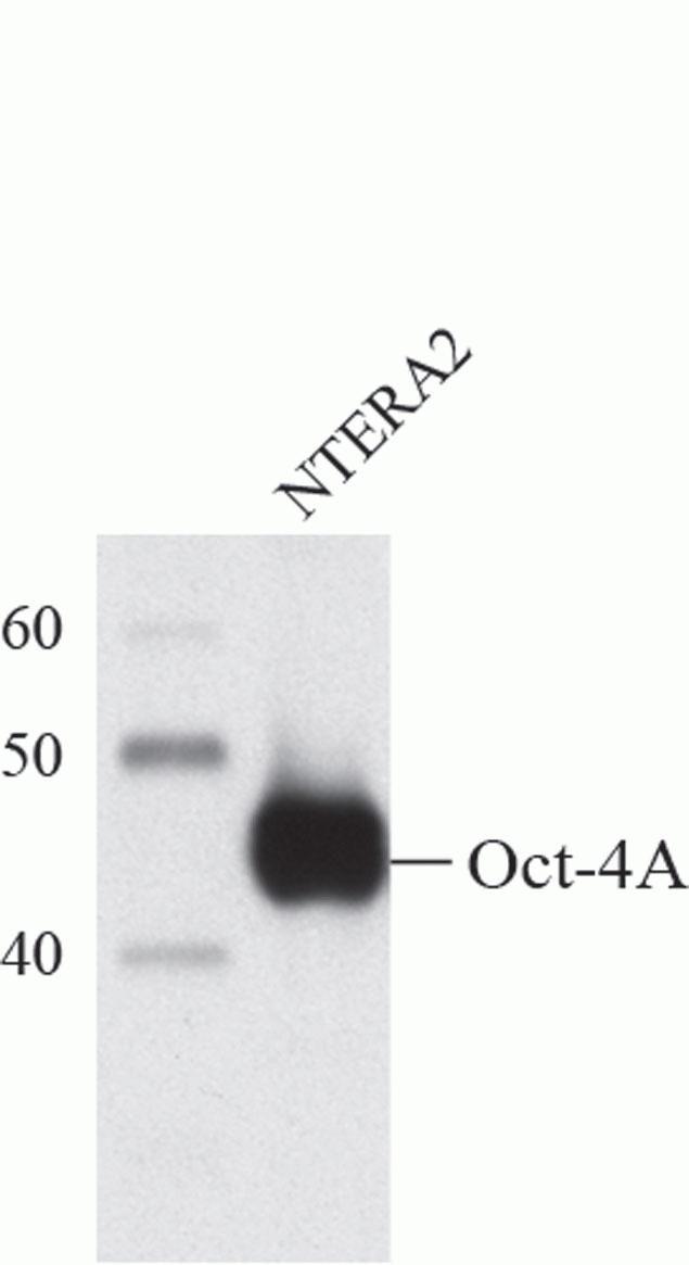 OCT4 Antibody (A13998) in Western Blot