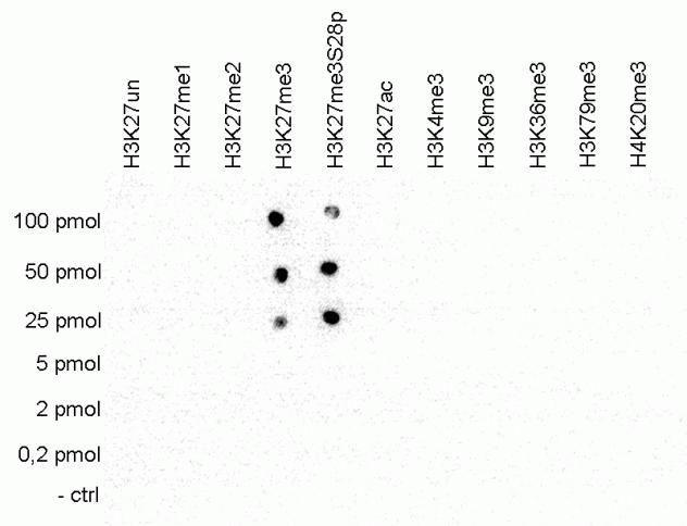 Tri-Methyl-Histone H3 (Lys27) Antibody (A15024) in Dot blot