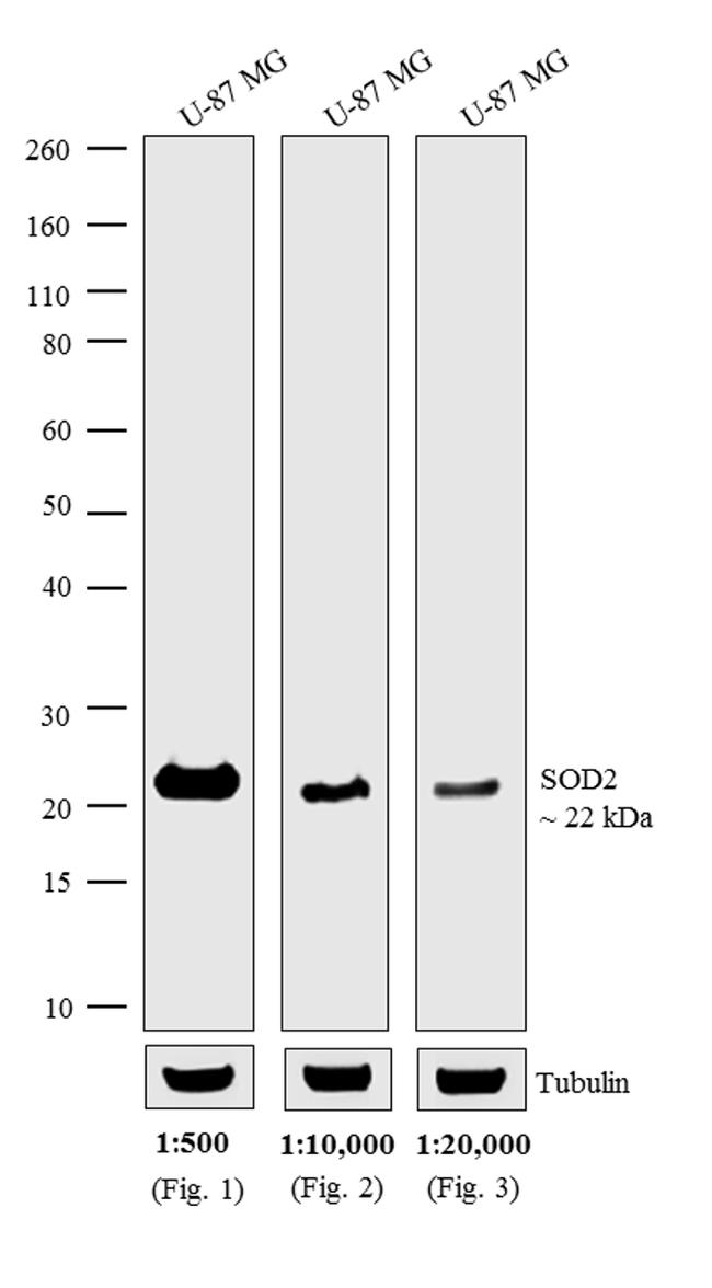 Mouse IgG (H+L) Cross-Adsorbed Secondary Antibody (A15981) in Western Blot