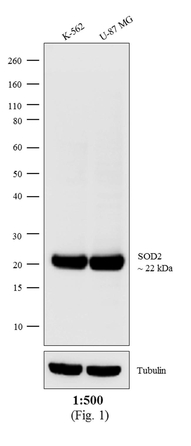 Mouse IgG (H+L) Cross-Adsorbed Secondary Antibody (A15985) in Western Blot