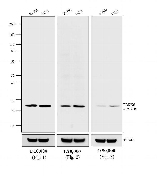 Rabbit IgG (H+L) Cross-Adsorbed Secondary Antibody (A15997)