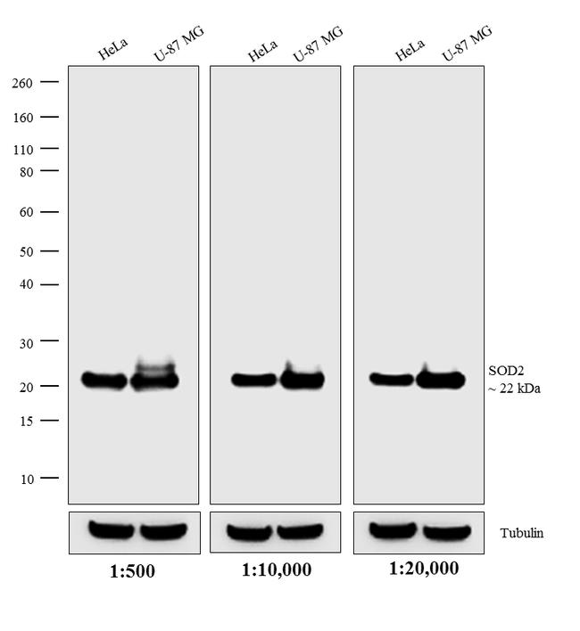 Mouse IgG (H+L) Secondary Antibody (A16011) in Western Blot