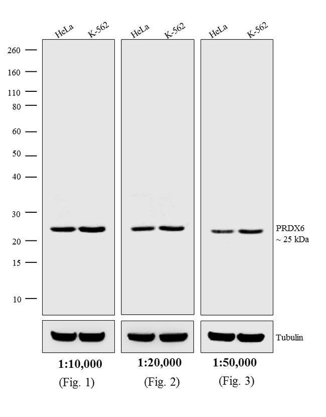 Rabbit IgG (H+L) Cross-Adsorbed Secondary Antibody (A16033) in Western Blot