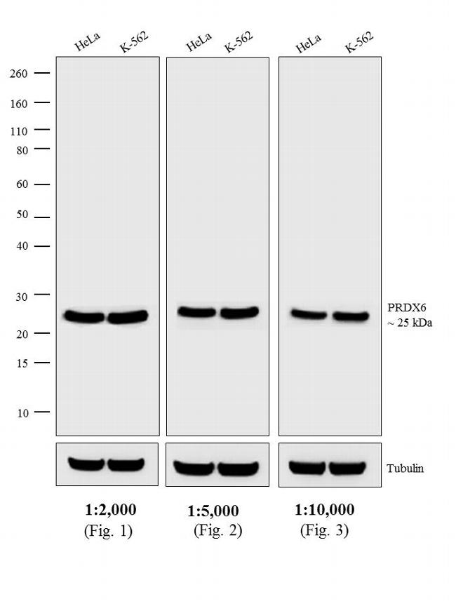 Rabbit IgG (H+L) Highly Cross-Adsorbed Secondary Antibody (A16035) in Western Blot