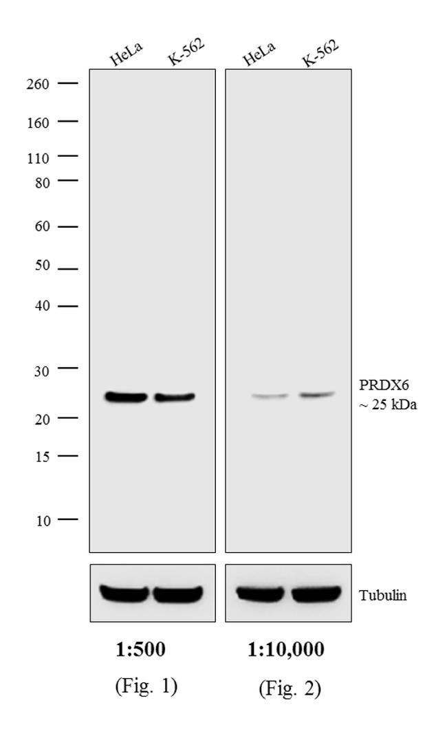 Rabbit IgG (H+L) Highly Cross-Adsorbed Secondary Antibody (A16038) in Western Blot