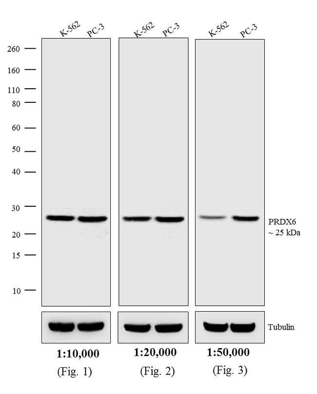 Rabbit IgG (H+L) Highly Cross-Adsorbed Secondary Antibody (A16039) in Western Blot