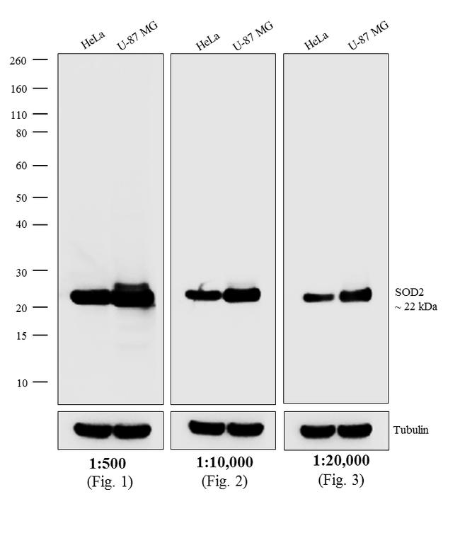 Mouse IgG (H+L) Secondary Antibody (A16066) in Western Blot