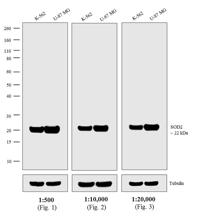 Mouse IgG (H+L) Secondary Antibody (A16070) in Western Blot