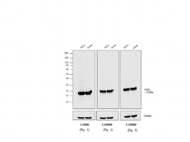 Mouse IgG (H+L) Cross-Adsorbed Secondary Antibody (A16072) in Western Blot