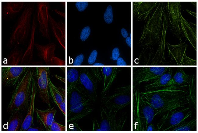 Mouse IgG (H+L) Cross-Adsorbed Secondary Antibody (A16077) in Immunofluorescence
