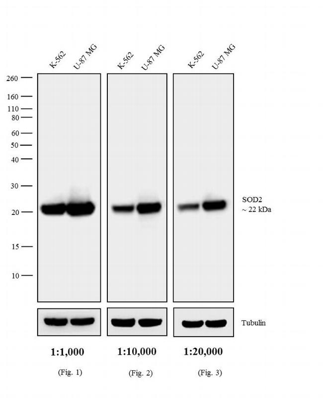 Mouse IgG (H+L) Highly Cross-Adsorbed Secondary Antibody (A16081) in Western Blot