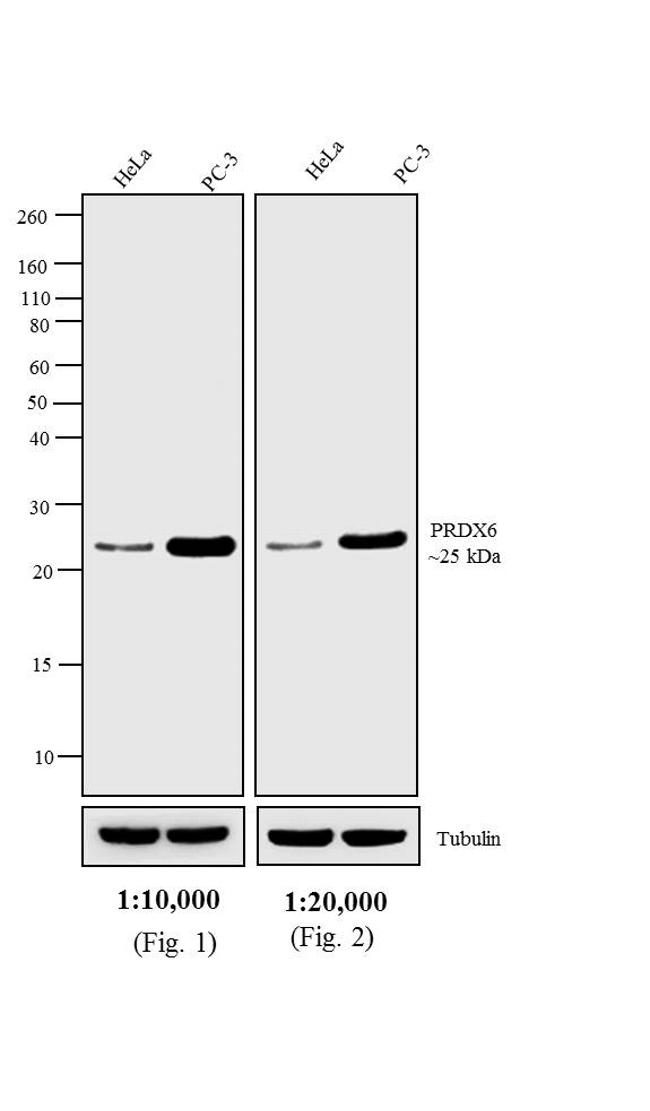Rabbit IgG (H+L) Highly Cross-Adsorbed Secondary Antibody (A16113) in Western Blot