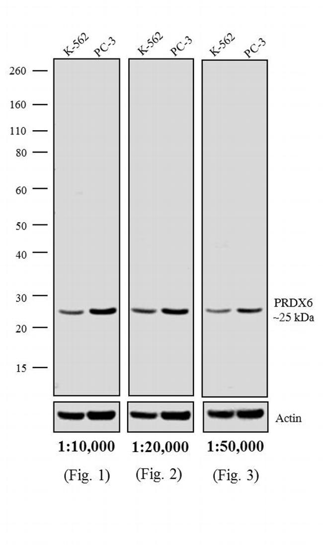 Rabbit IgG (H+L) Highly Cross-Adsorbed Secondary Antibody (A16114) in Western Blot