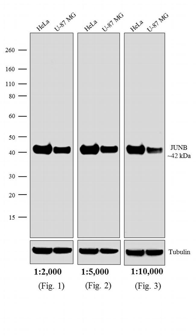 Rabbit IgG Fc Cross-Adsorbed Secondary Antibody (A16124) in Western Blot