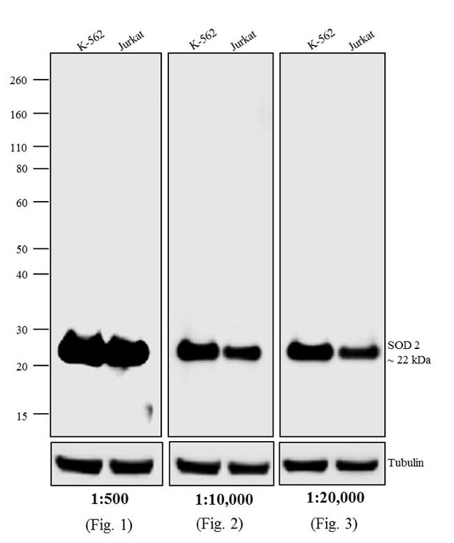Mouse IgG (H+L) Secondary Antibody (A16163) in Western Blot