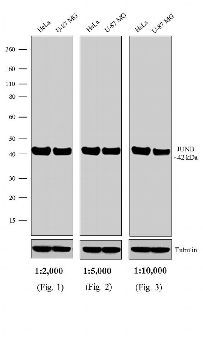 Rabbit IgG (H+L) Secondary Antibody (A16172) in Western Blot
